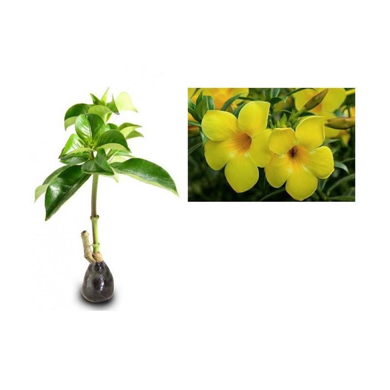 Jual Zplant Bunga Alamanda Tanaman Hias Kuning Online November 2020 Blibli Com