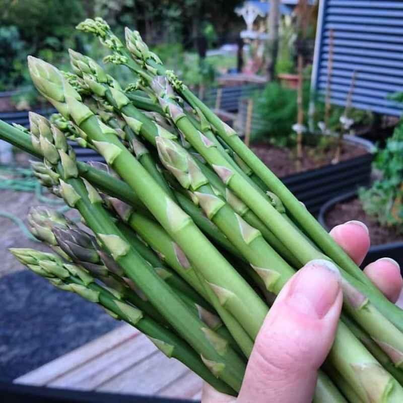 Jual Haira Seed Asparagus Mary Washington Bibit Tanaman 15 Butir Online November 2020 Blibli Com