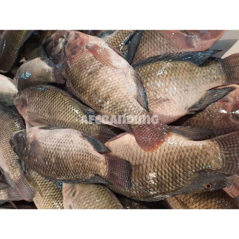 Jual Ikan Nila Hitam Segar Fresh Ikan Mujair 1kg Online Januari 2021 Blibli