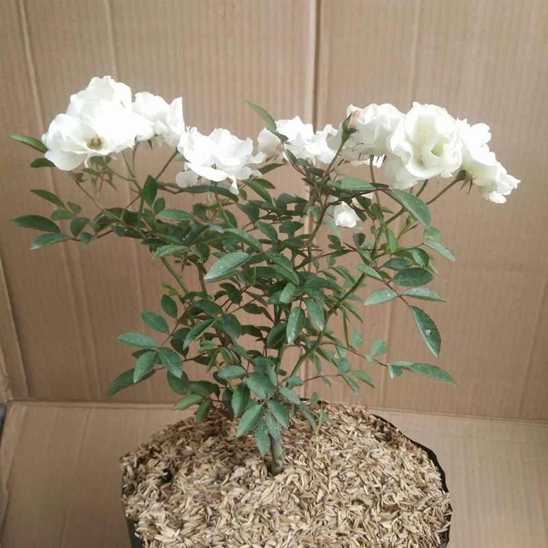 Jual Bibit Tanaman Bunga Mawar Putih Bibit Tanaman Online November 2020 Blibli Com
