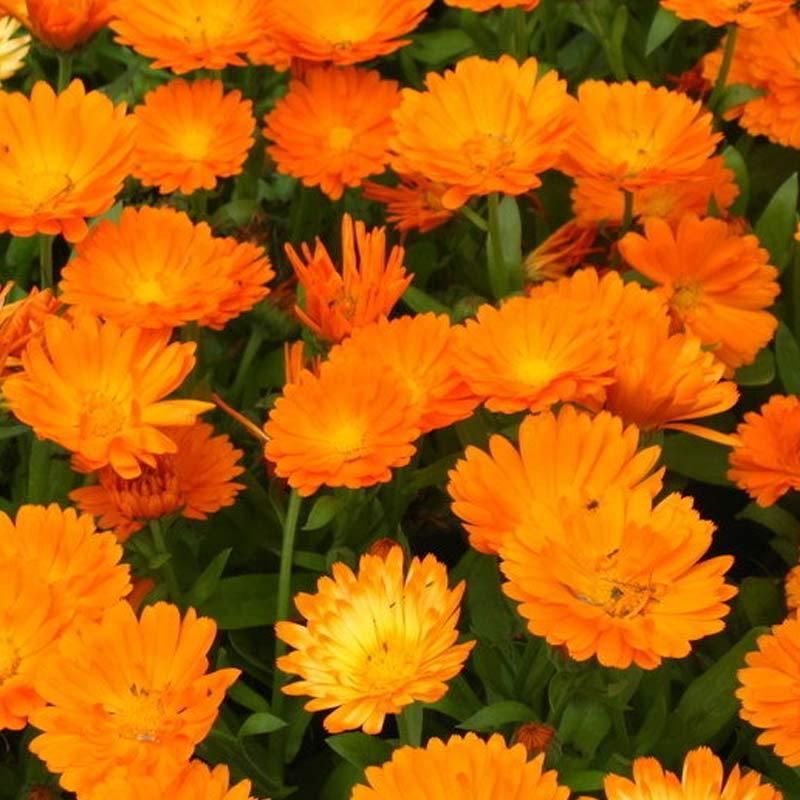Jual Haira Seed Bunga English Marigold Benih Bibit Tanaman Online November 2020 Blibli Com