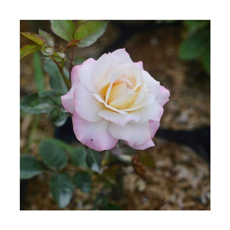 Jual Sutris Bibit Bunga Mawar Pink Lipstik Benih Tanaman Murah