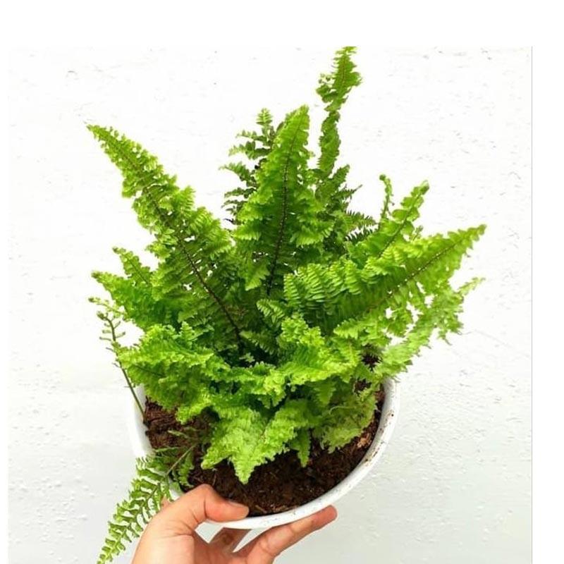 zplant zplant tanaman hias pakis keriting irian paku kriting curly fens bibit daun full02