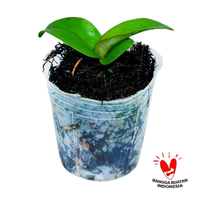 Seedling Anggrek Cattleya