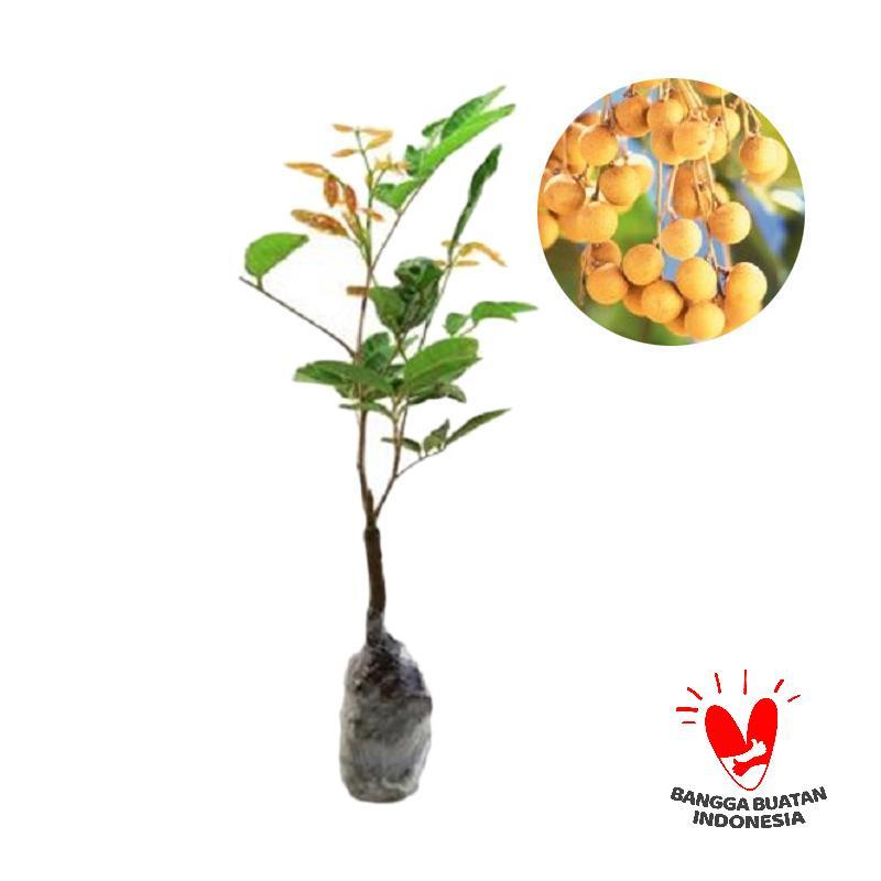 harga Kelengkeng Aroma Durian Blibli.com