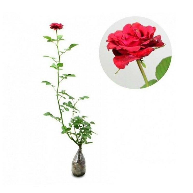 Jual Godongmas Bibit Tanaman Bunga Mawar Merah Online November 2020 Blibli Com