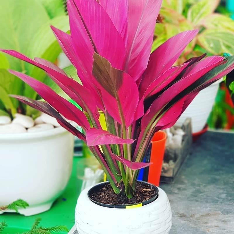 Jual Zplant Daun Hanjuang Andong Merah Bibit Pohon Unik Tanaman Hias Online November 2020 Blibli Com