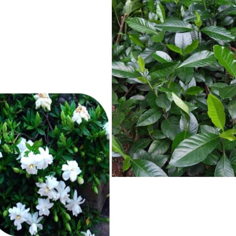 Jual Tanaman Gardenia Kacapiring Bali Bunga Wangi Online November 2020 Blibli Com