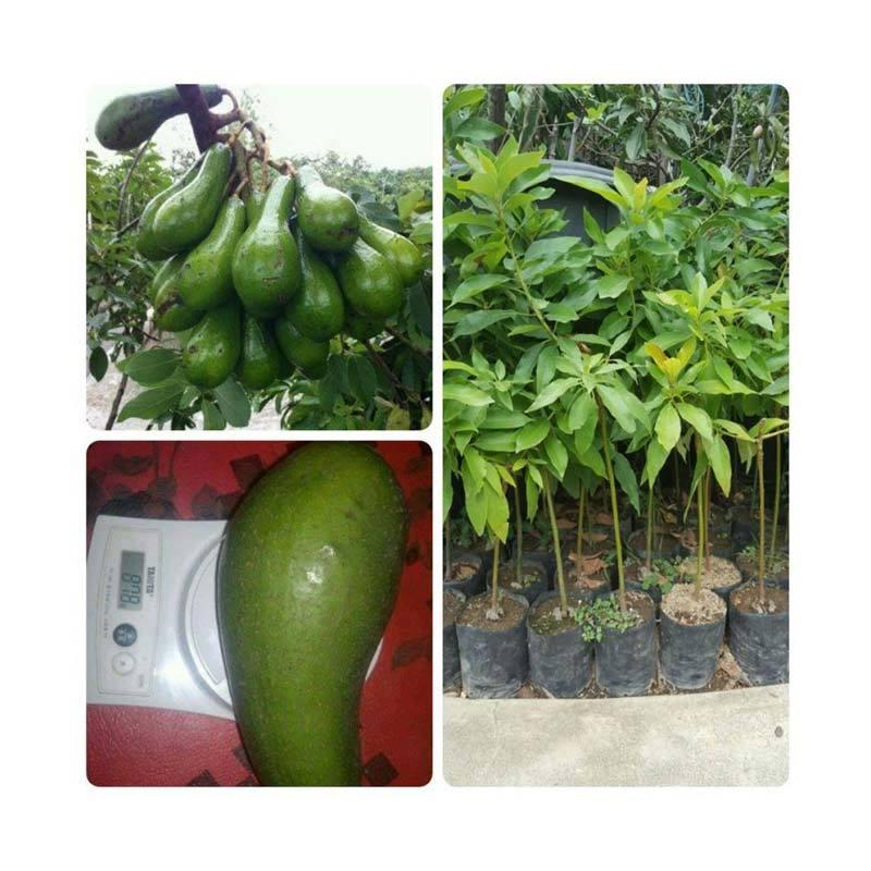 harga Bibit Tanaman Murah Alpukat Long Green [Pulau Jawa] Blibli.com