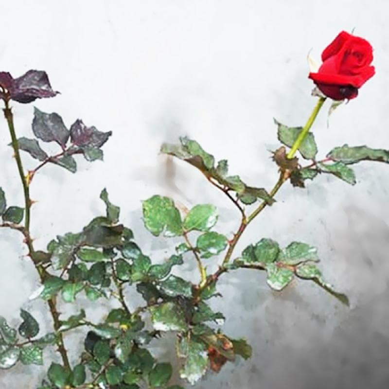 Jual Bibit Tanaman Bunga Mawar Merah Tanaman Hias Online November 2020 Blibli Com