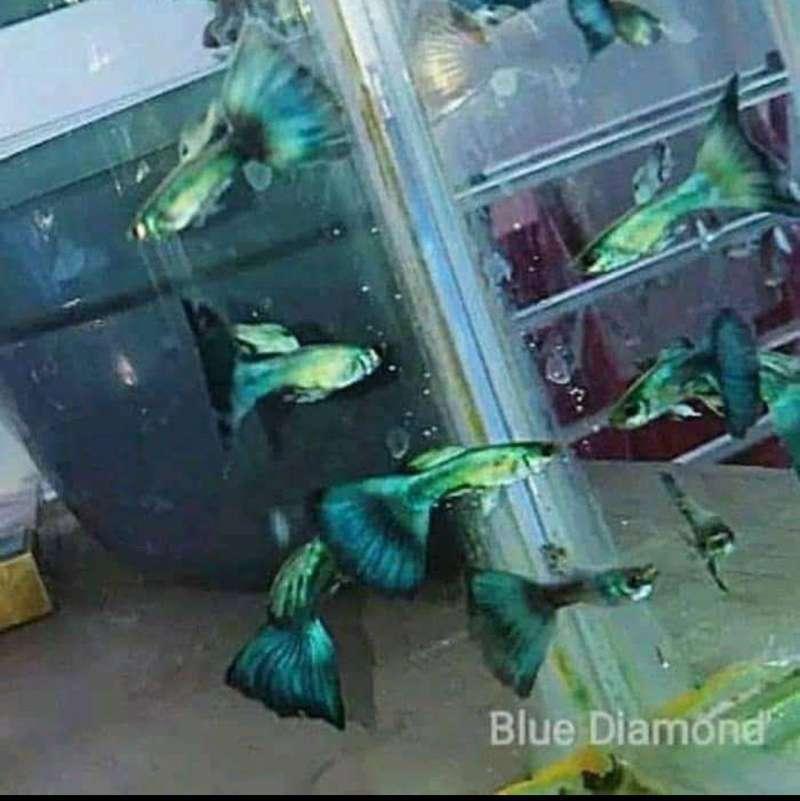 Jual Ikan Hias Online Desember 2020 Blibli