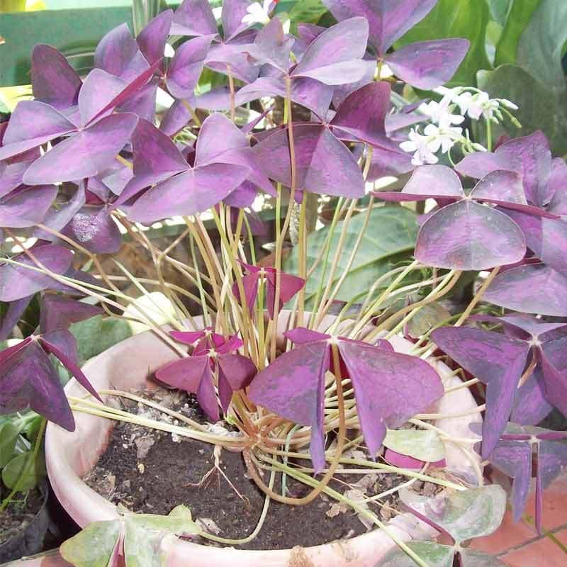 ZPLANT Daun Kupu Kupu Ungu Kupu-kupu Pohon Purple Shamrock Tanaman Hias