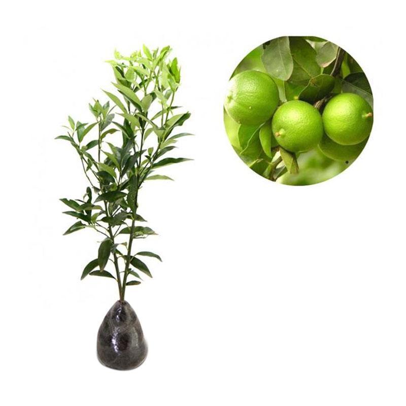 berisi 5 biji benih / bibit buah anggur merah import. Source · Harga Dan Model