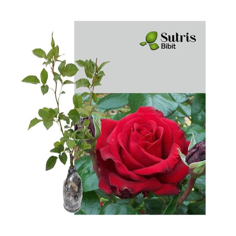 Jual Sutris Bibit Bunga Mawar Merah Bibit Tanaman Hias Online November 2020 Blibli Com