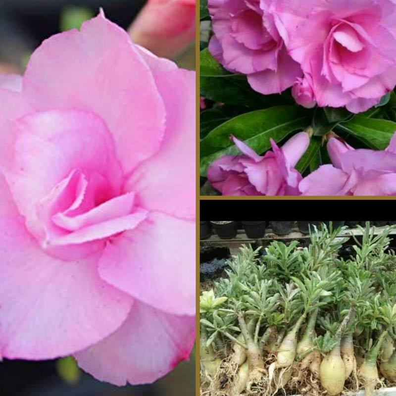 Jual Goldseeds Kamboja Adenium Shocking Pink Tanaman Hias Murah Maret 2020 Blibli Com