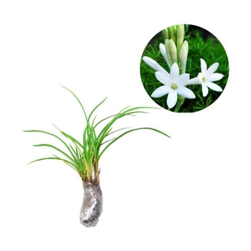 Jual Zplant Bunga Sedap Malam Putih Bibit Tanaman Hias Online November 2020 Blibli Com