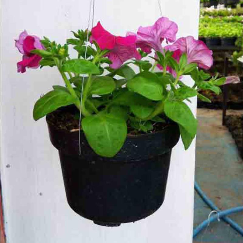 Jual Tanaman Hias Bunga Petunia Semi Outdoor Gantung Online Juli