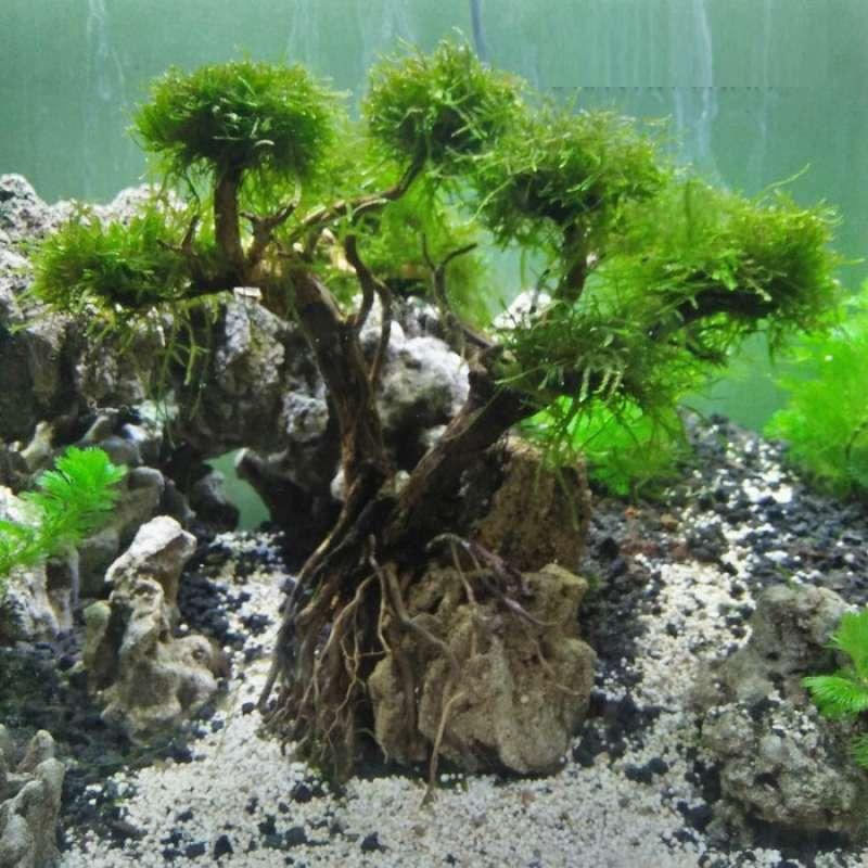 Jual Oem Pohon Bonsai Aquascape Aquarium Tree On A Stone Online Januari 2021 Blibli