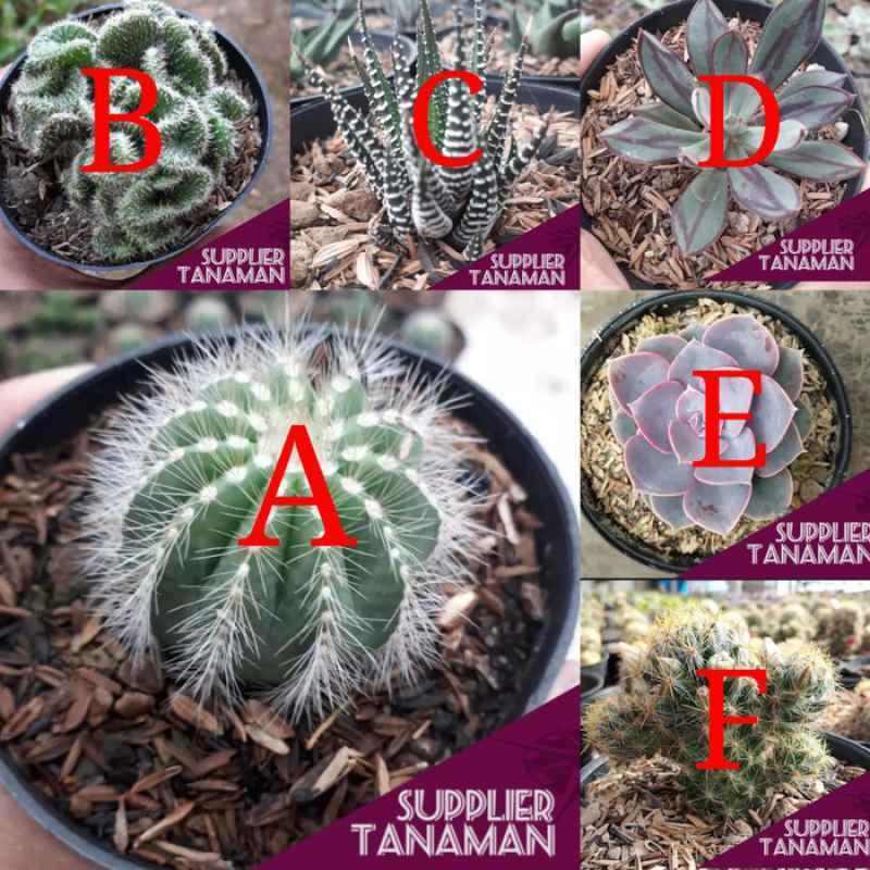 Tanaman 4 Kaktus Sukulen Paket Tanaman Hias