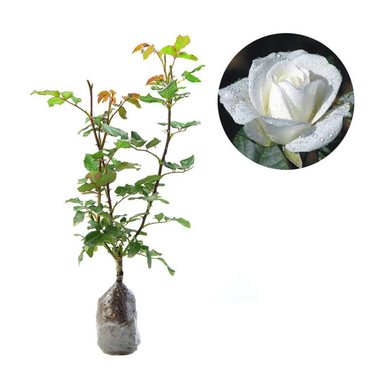 Jual Bibit Tanaman Murah Bunga Mawar Putih Pulau Jawa Online November 2020 Blibli Com