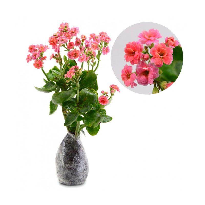 Kebun Bibit Kalanchoe Pink Tanaman