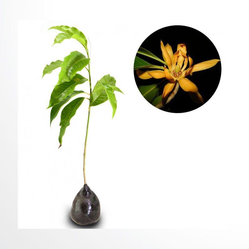 Kebun Bibit Kantil Kuning Tanaman