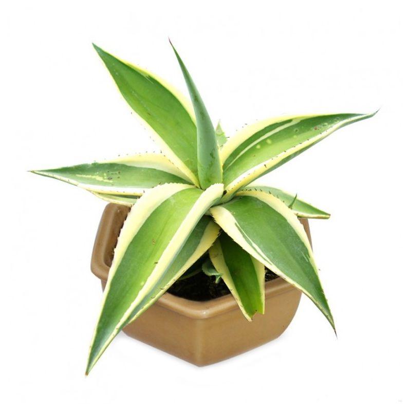 Kebun Bibit Agave White Green Tanaman