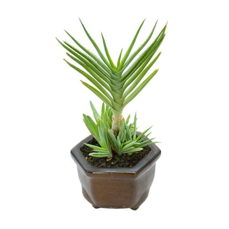Kebun Bibit Aloe Misty Tanaman