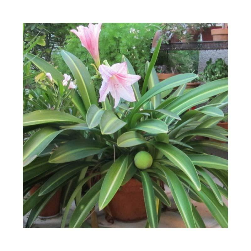 Kebun Bibit Amaryllis Variegata Pink Tanaman
