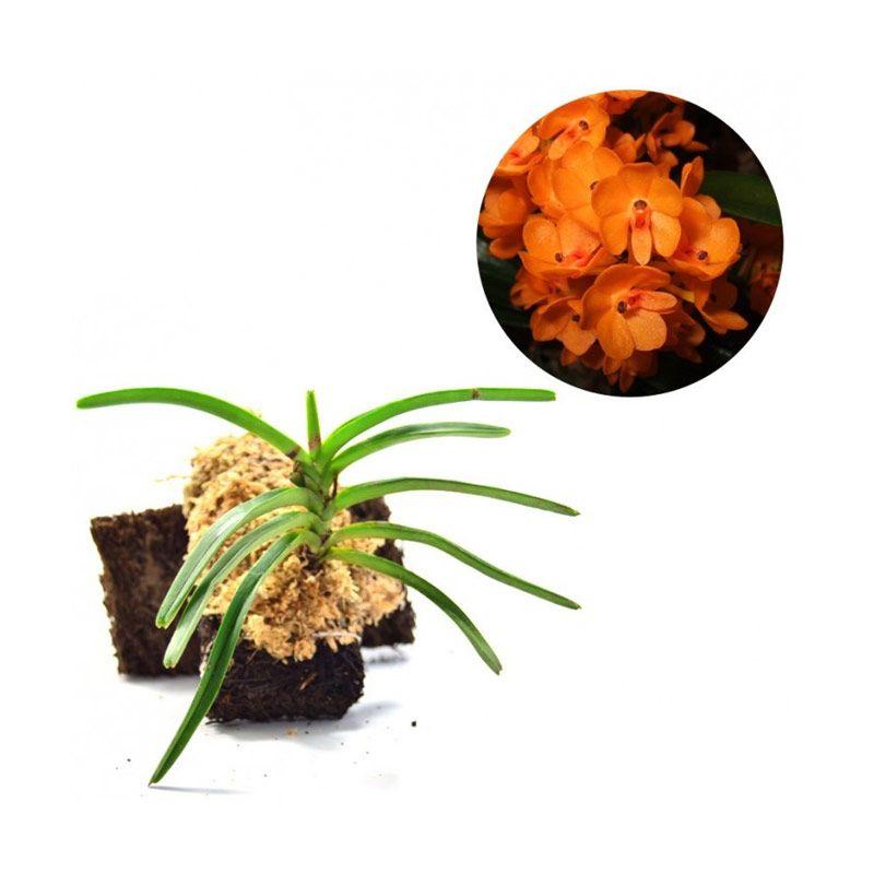 Kebun Bibit Ascocentrum Miniatum Tanaman