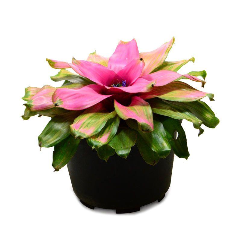 Kebun Bibit Bromelia Royal Jelly Tanaman