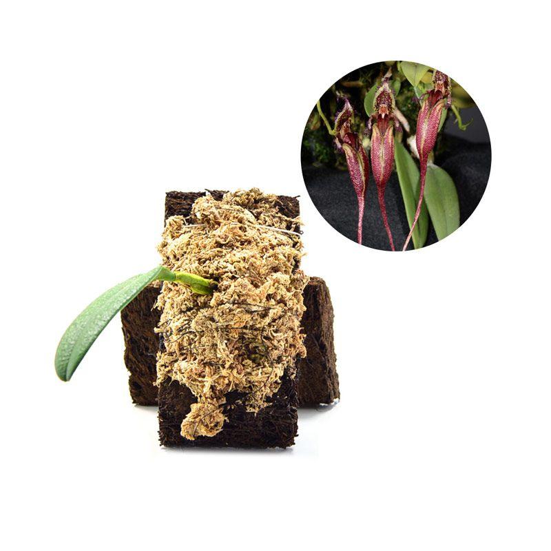 Kebun Bibit Bulbophyllum Fascinator Tanaman