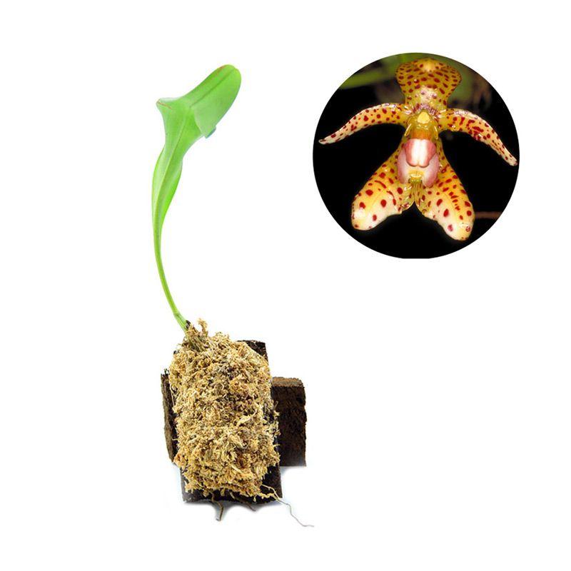 Kebun Bibit Bulbophyllum Incisilabrum Tanaman
