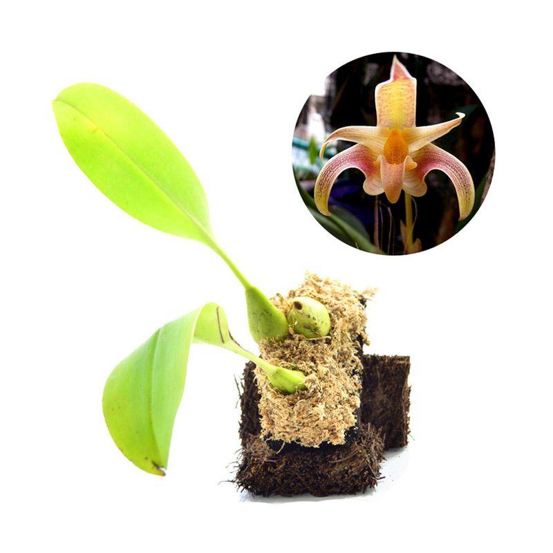 Kebun Bibit Bulbophyllum Polystictum Tanaman