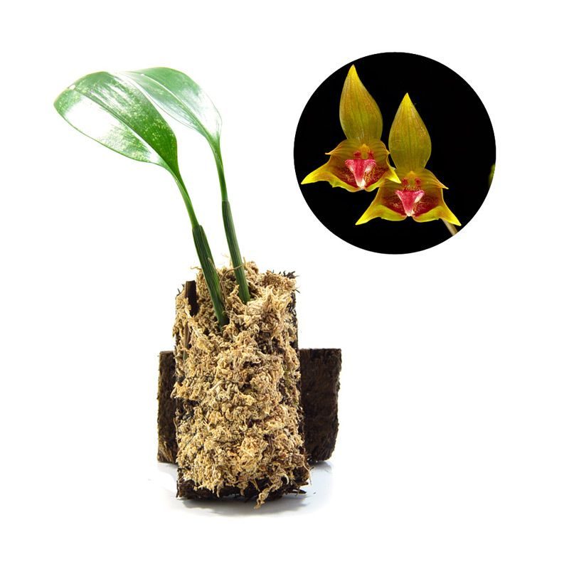 Kebun Bibit Bulbophyllum Uniflorum Tanaman