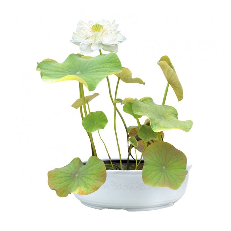 Kebun Bibit Double White Lotus Putih Tanaman