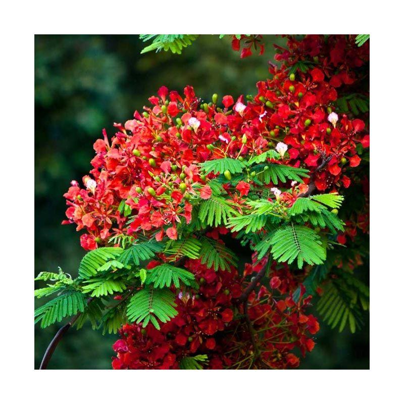 Kebun Bibit Flamboyan Tanaman