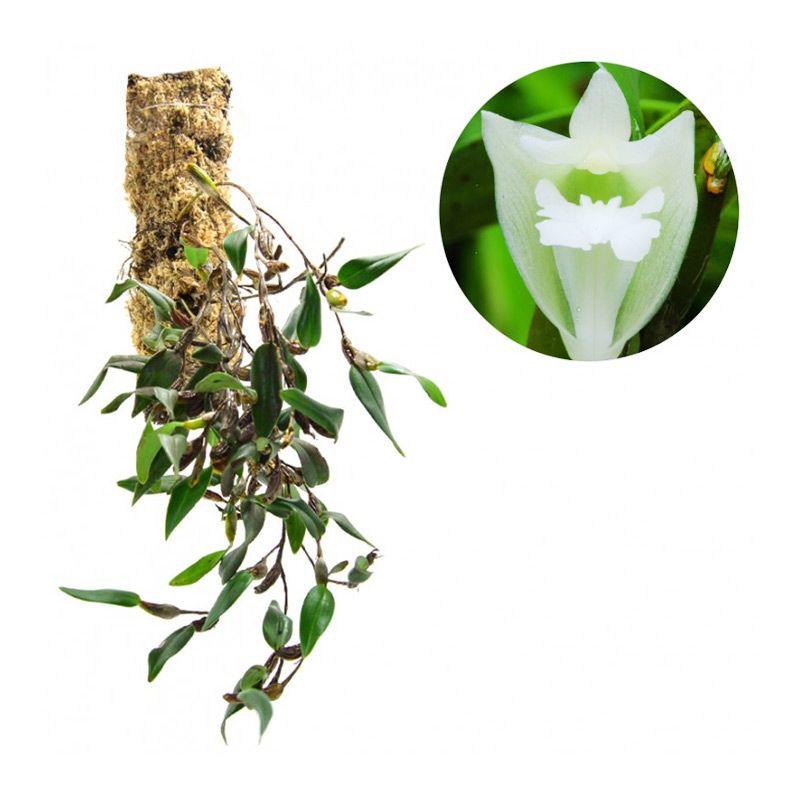 Kebun Bibit Flickingeria Grandiflora Tanaman