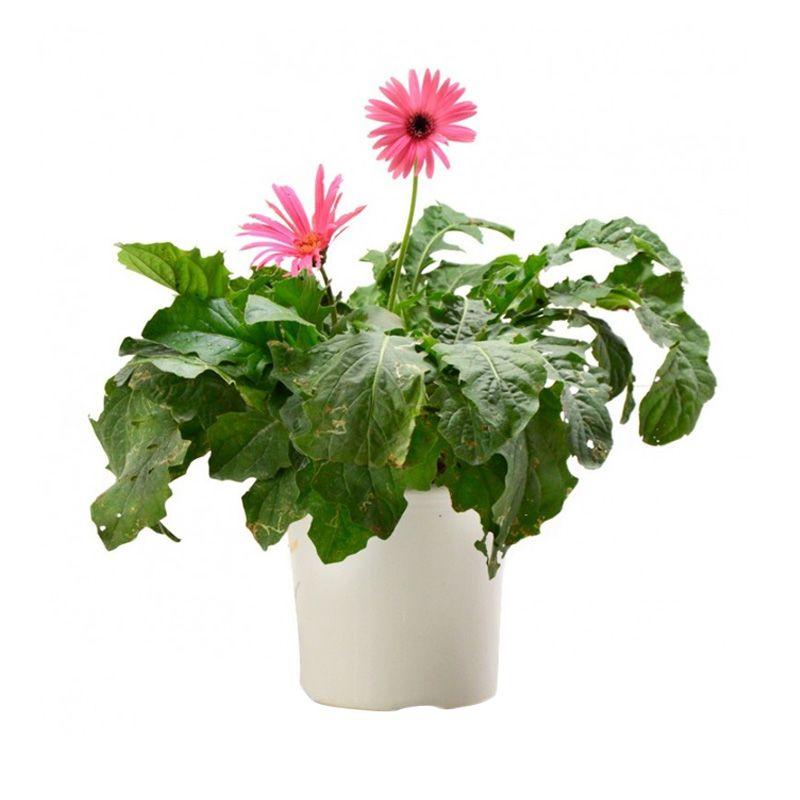 Kebun Bibit Gerbera Pink Import 034 Tanaman