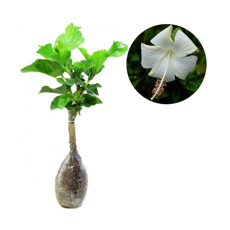 Kebun Bibit Hibicus Hawaii Putih Tanaman