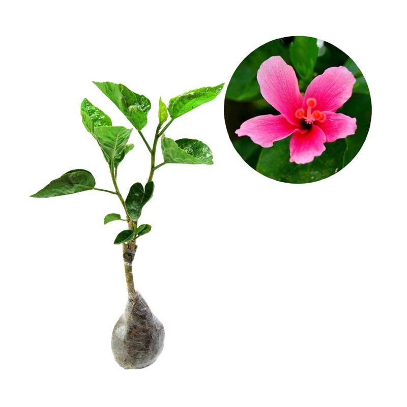 Kebun Bibit Hibicus Liliputian Pink Tanaman