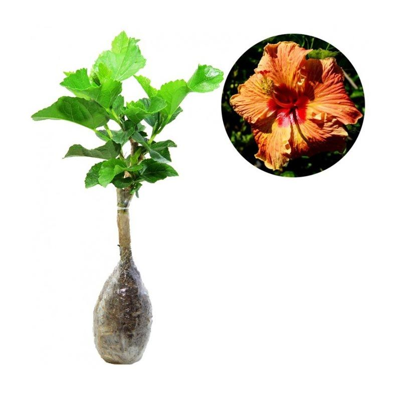 Kebun Bibit Hibicus Orange Bleach Tanaman