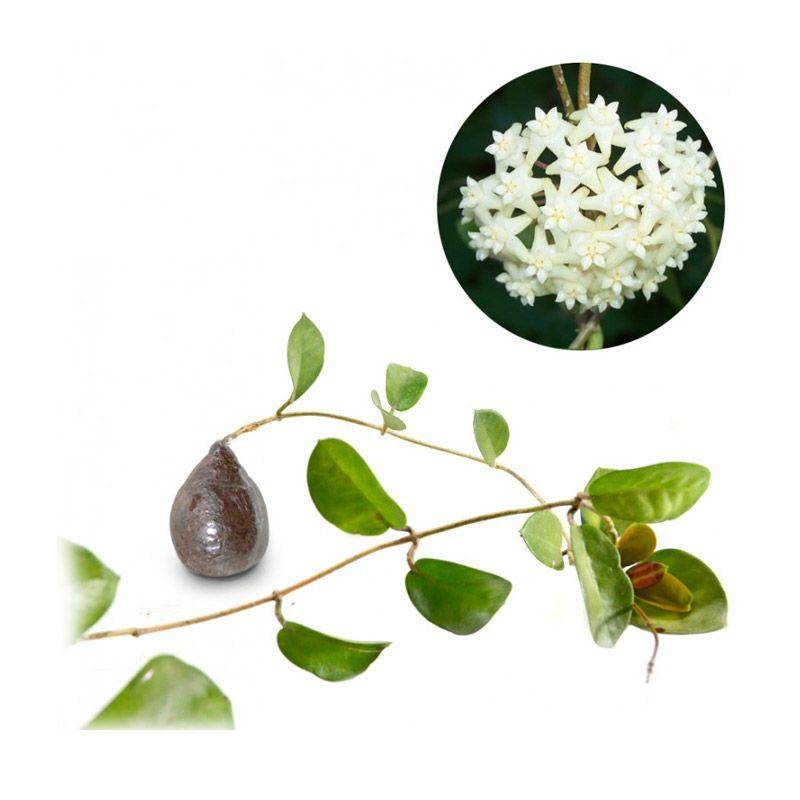 Kebun Bibit Hoya arnottiana Tanaman