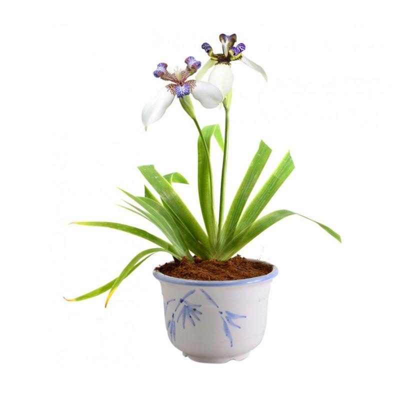 Kebun Bibit Iris Northiana Tanaman