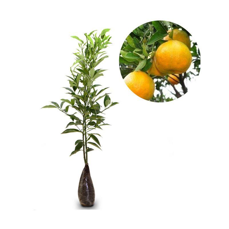 Kebun Bibit Jeruk Keprok Madura Oranye Tanaman [40 cm]