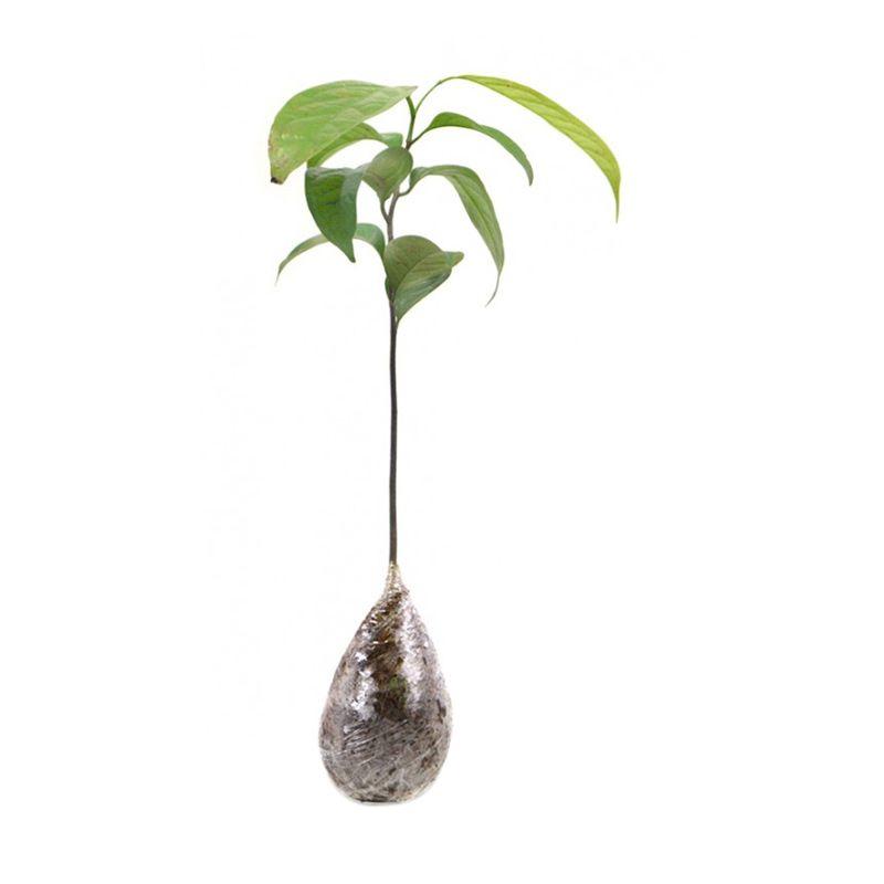 Kebun Bibit Kepel Tanaman [30 cm]