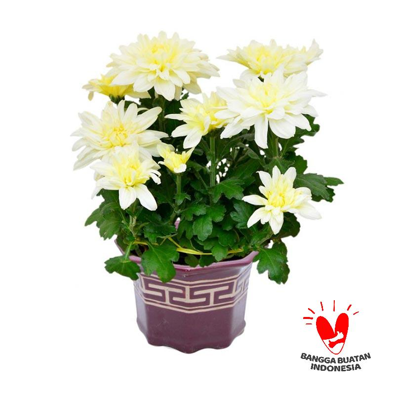 Jual Kebun Bibit Krisan White Ivory Bibit Tanaman Bunga Online November 2020 Blibli Com