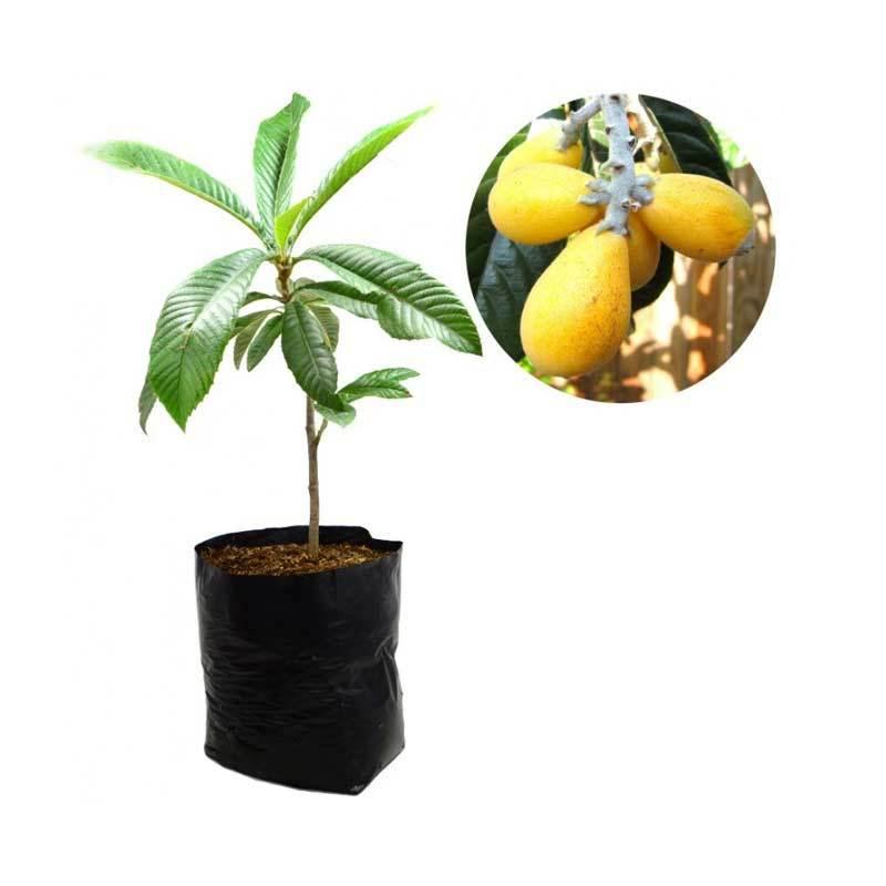 Kebun Bibit Loquat Plum Tanaman [60 cm]