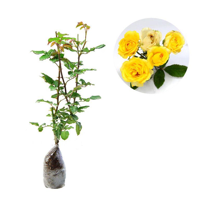 Kebun Bibit Mawar Floribunda Kuning Tanaman