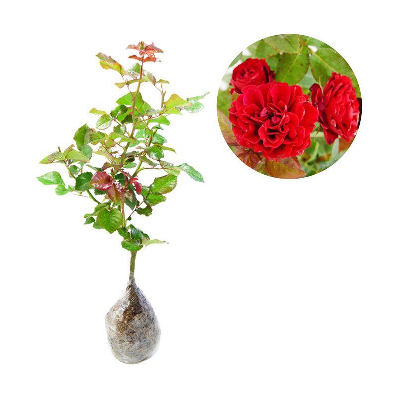 Kebun Bibit Mawar Floribunda Merah Tanaman